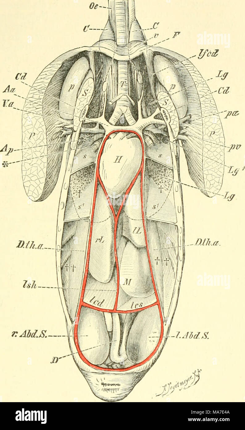 Fantastisch Anatomie Lunge Und Herz Fotos - Anatomie Von ...