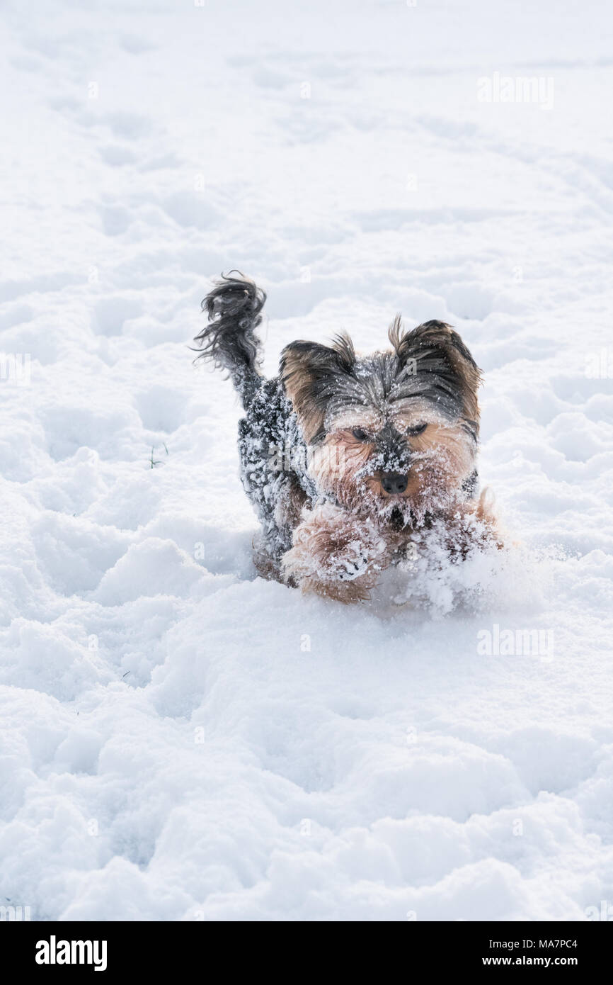 Yorkie Playing In The Snow In Winter Stock Photo 178421492 Alamy