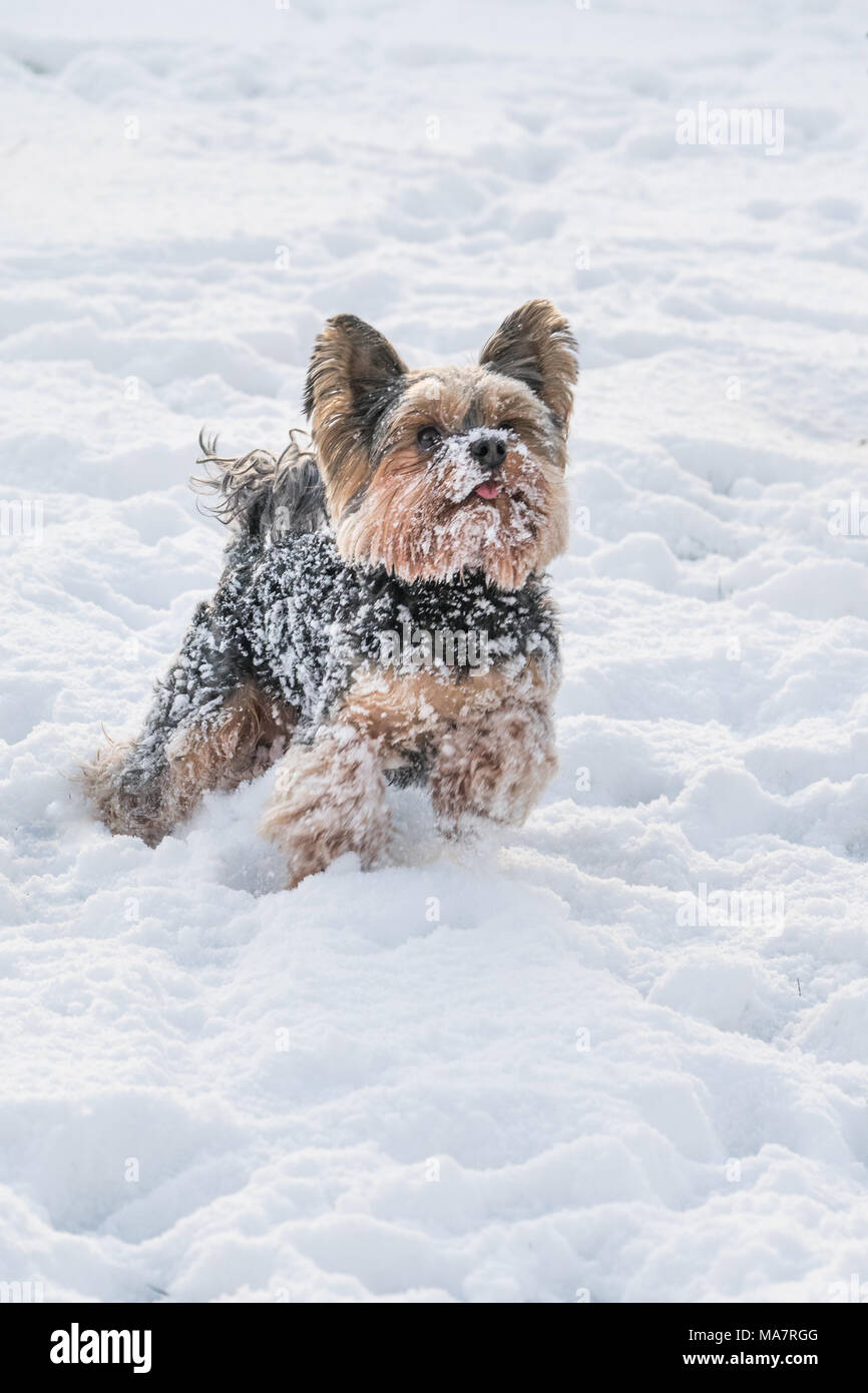 Yorkie Playing In The Snow In Winter Stock Photo 178422400 Alamy
