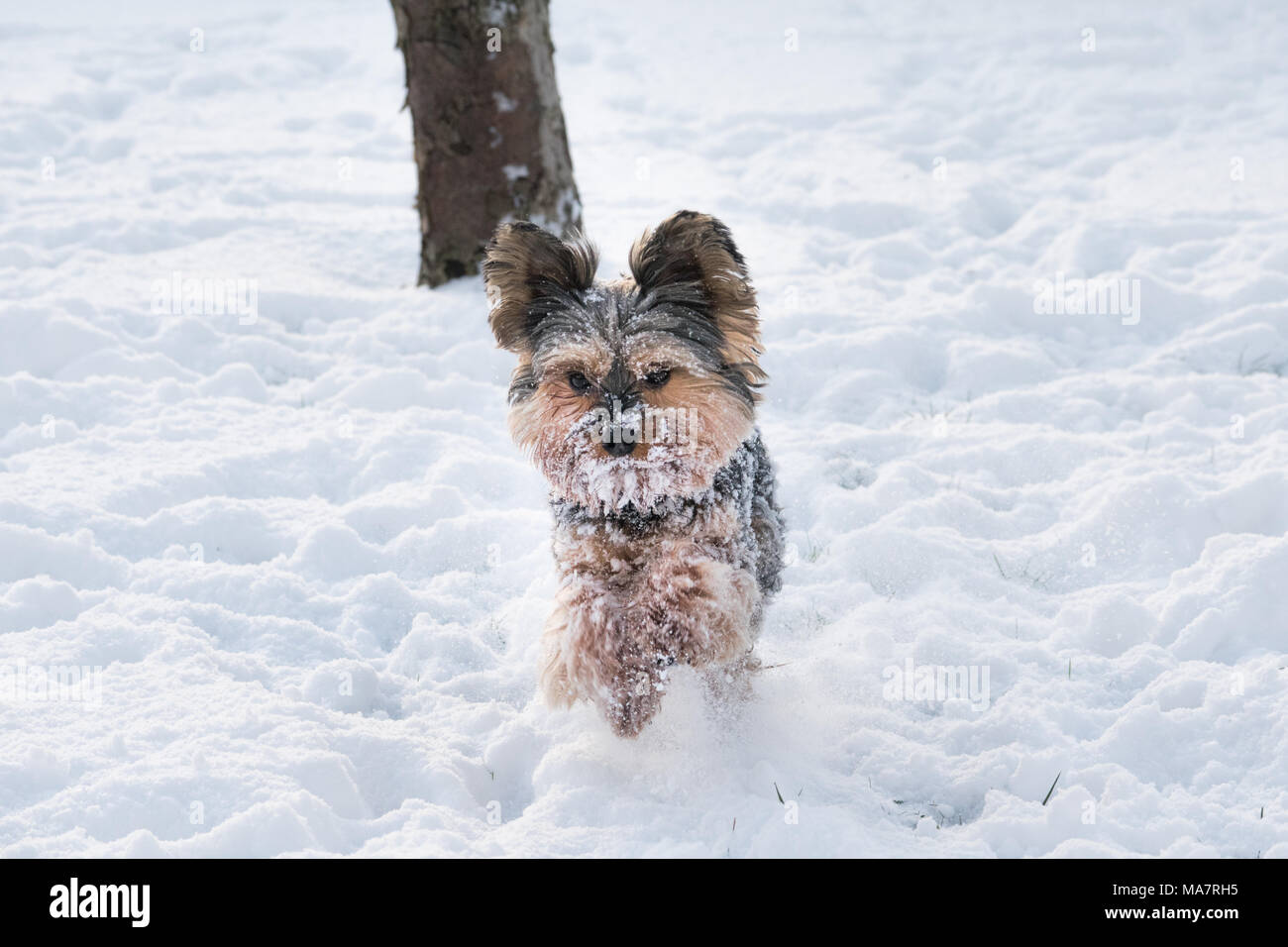 Yorkie Running In The Snow In Winter Stock Photo 178422417 Alamy