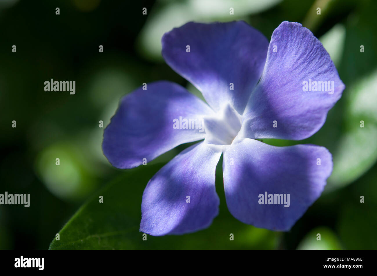 Close Up Of A Blue Periwinkle Flower Vinca Major A Spring And