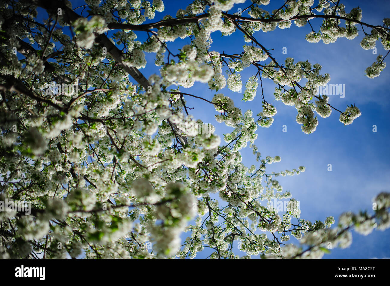 White Flowers On A Blooming Crabapple Tree Seen Against The Blue Sky