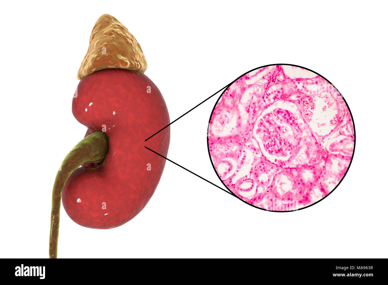 Illustration Of Human Kidney And Light Micrograph Of A Section