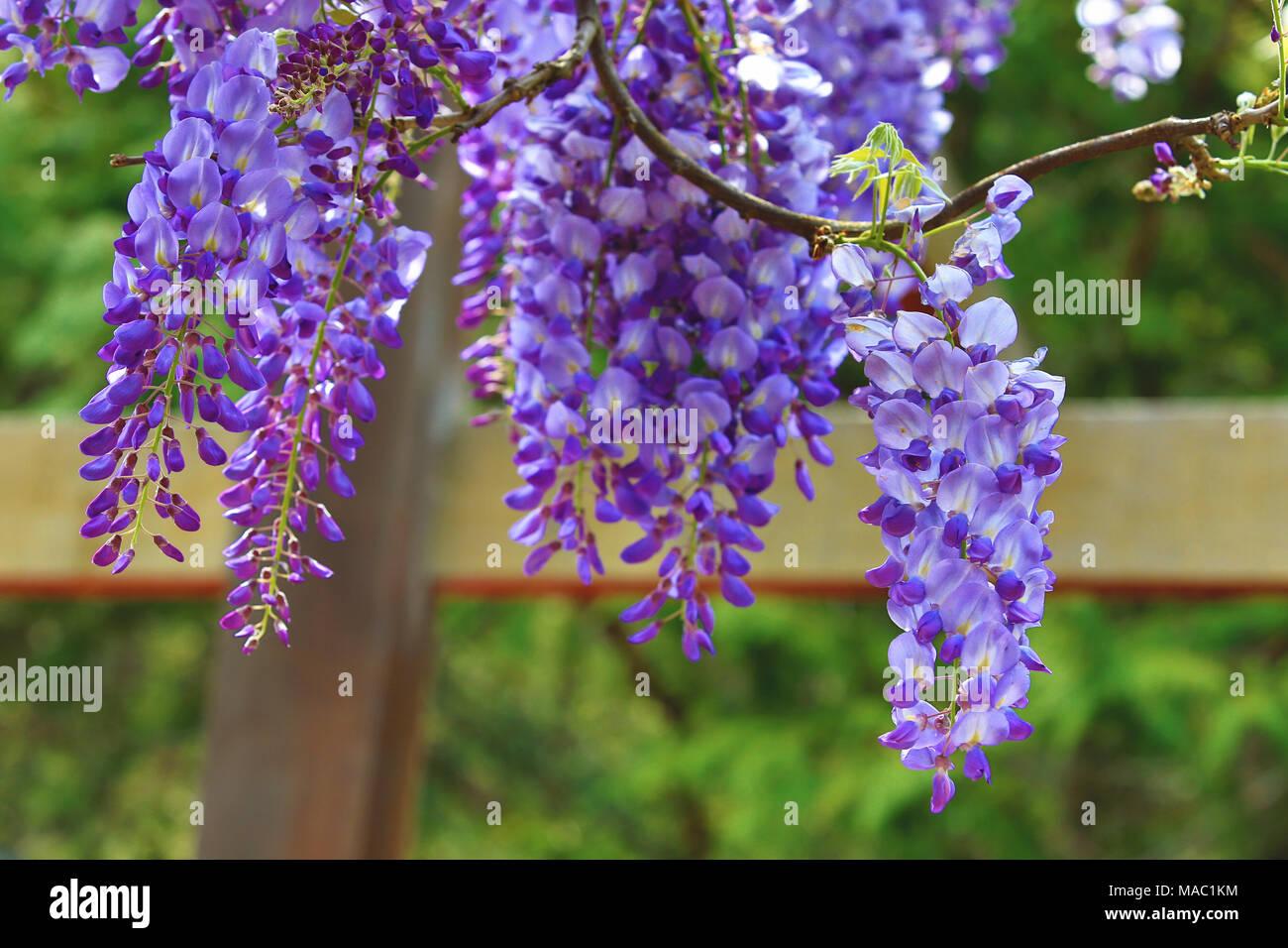 Purple wisteria flowersbeautiful scenery of purple with yellow purple wisteria flowersbeautiful scenery of purple with yellow flowers and buds blooming in the garden in spring bean treepurple vine mightylinksfo