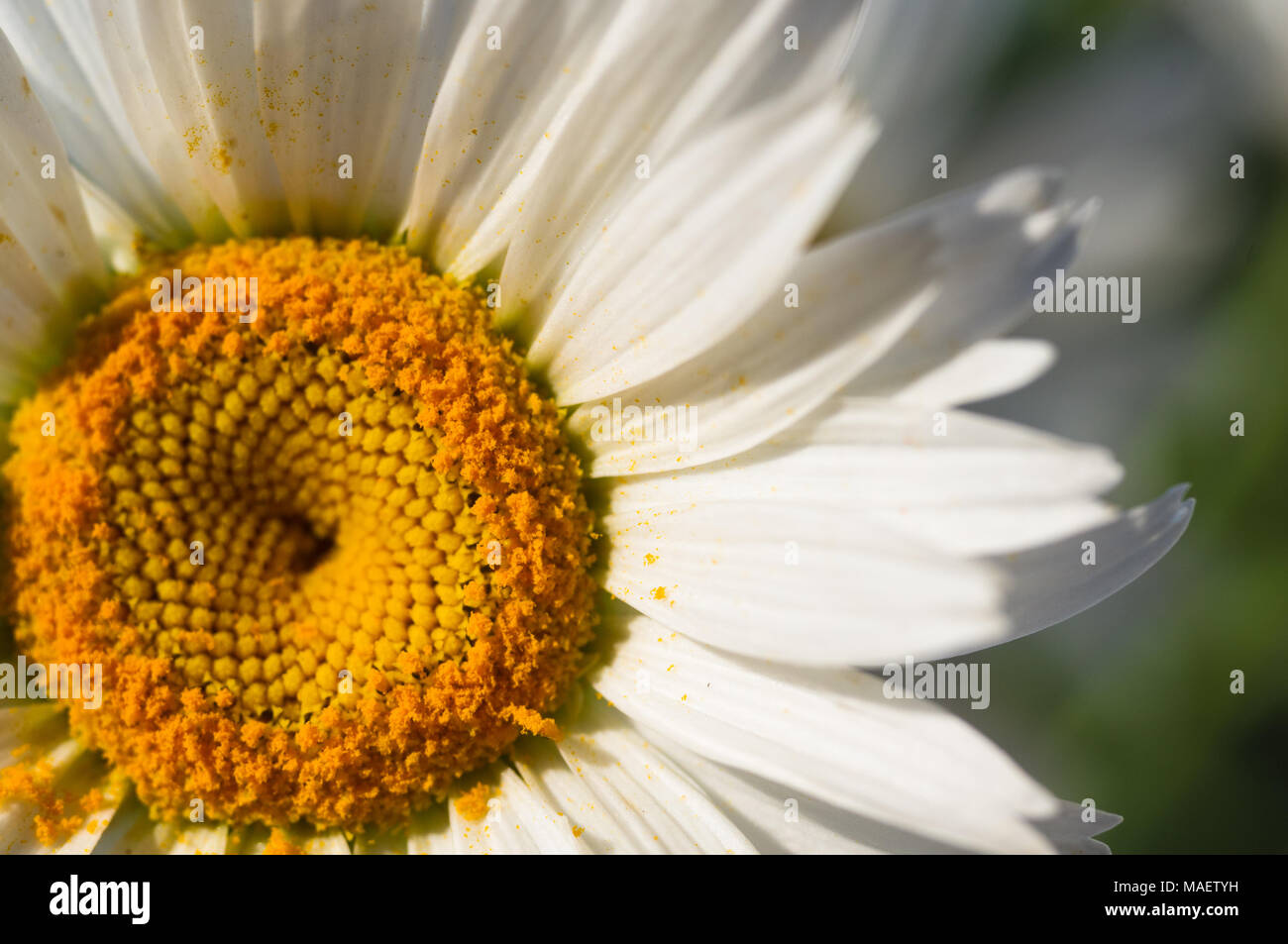 Blooming Chamomile Beautiful Nature Scene Summer Background Use Selective Focus In Macro Photography For Dummies Photo