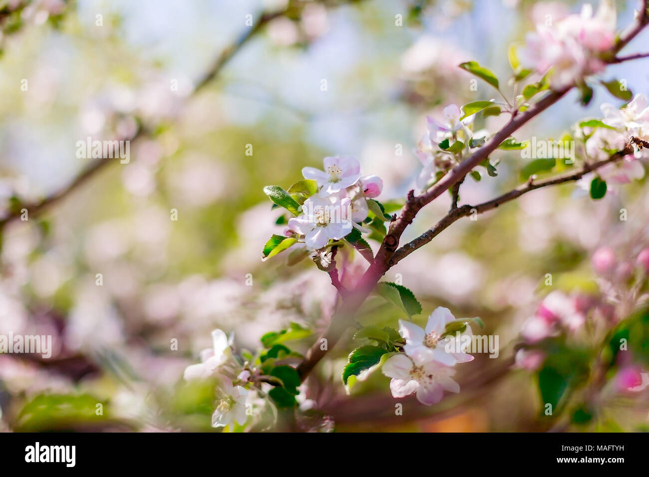Beautiful Pink Blooms Of Apple Tree With Blurred Background Nature