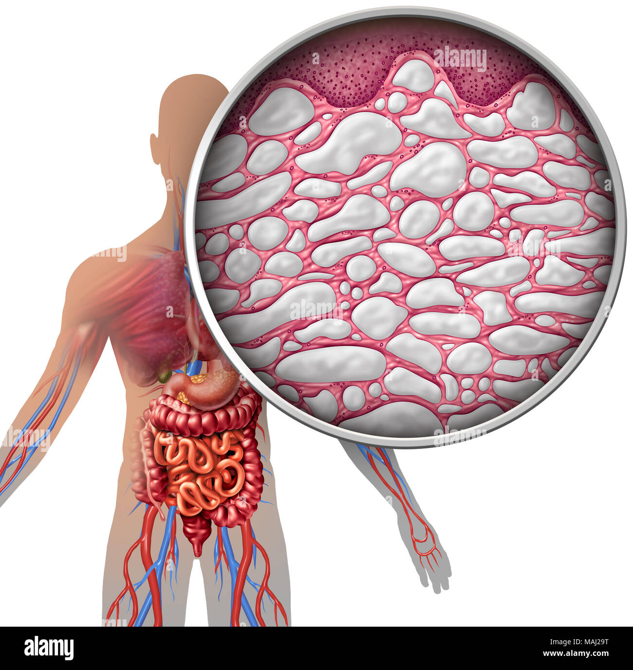 Interstitium human body anatomy with organs concept as connective ...