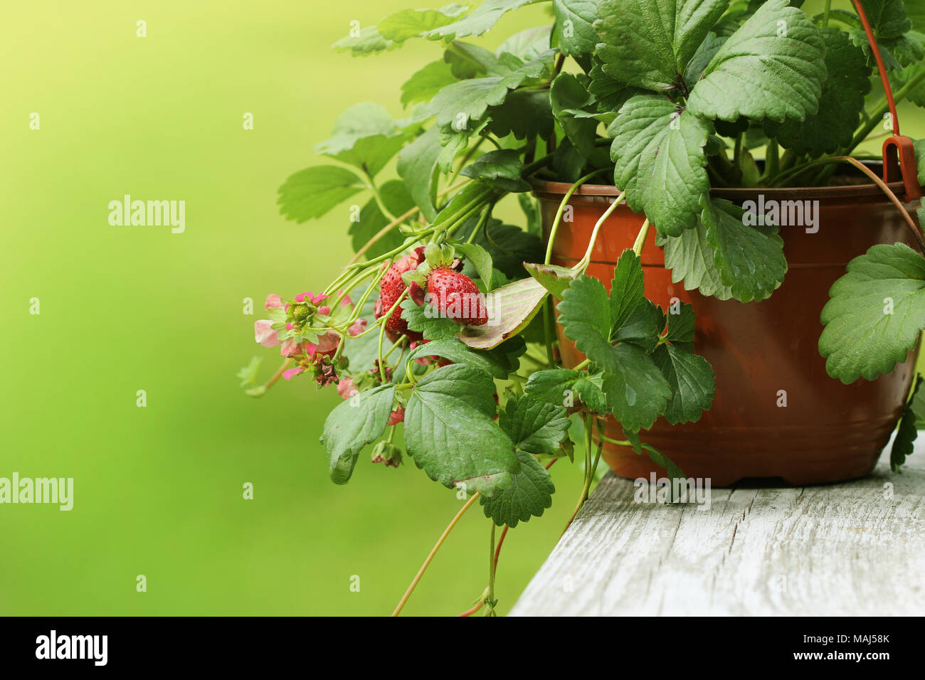 Alpine Strawberry Plant In Pot With Pink Flower On Green Background