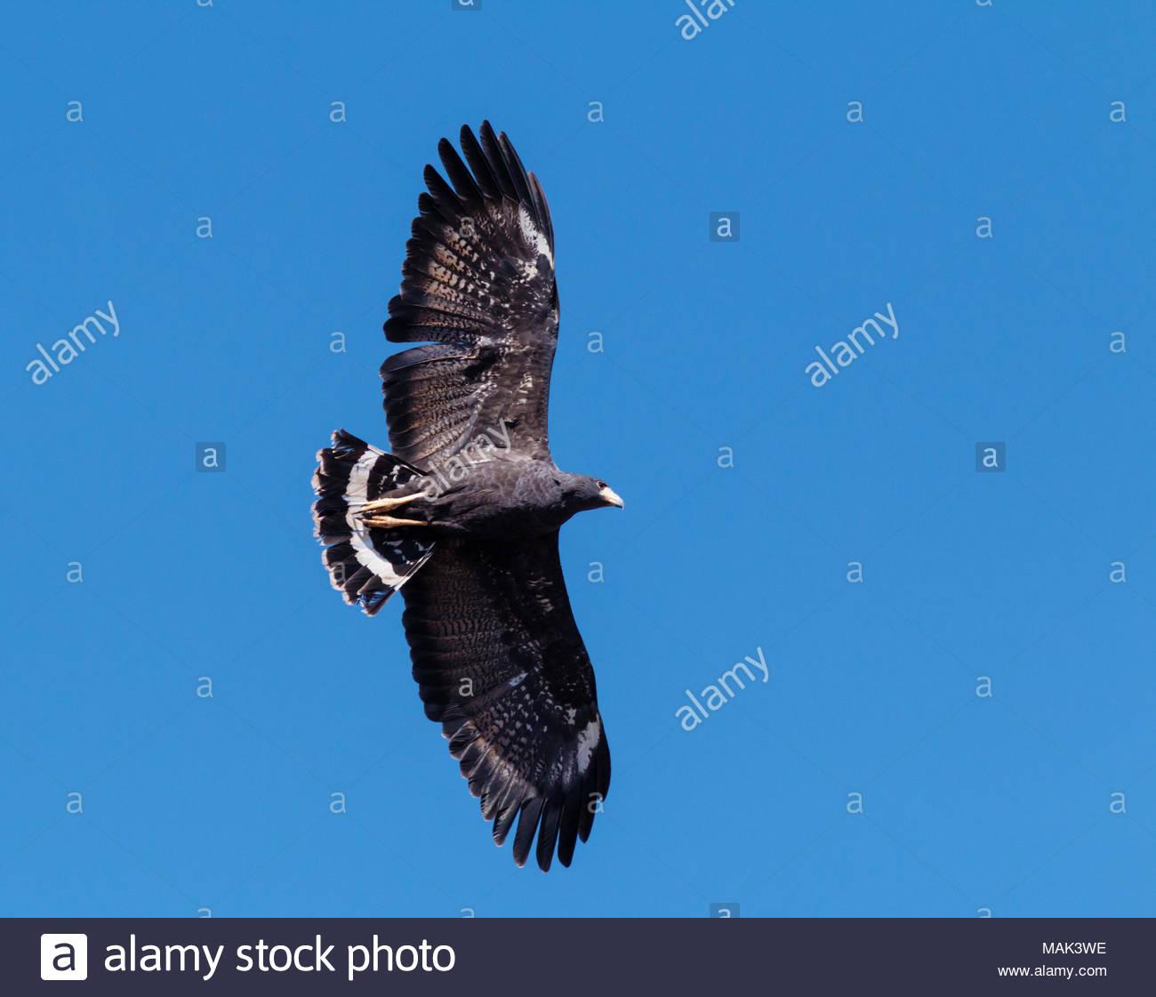 common-black-hawk-buteogallus-anthracinus-in-flight-in-arizona-usa-MAK3WE.jpg