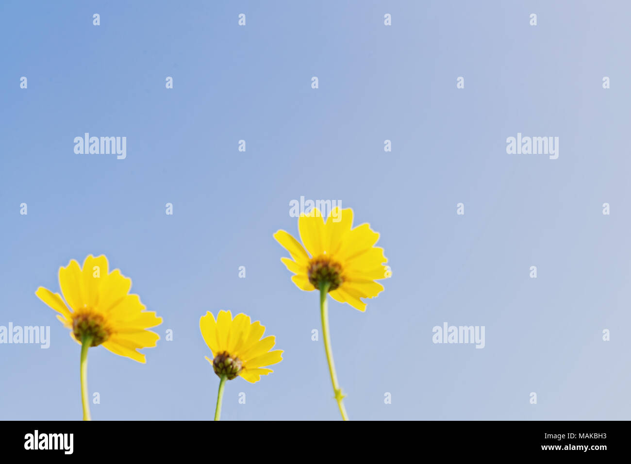 Low Angle View Of Three Blurred Shape Yellow Flowers On Blue Sky
