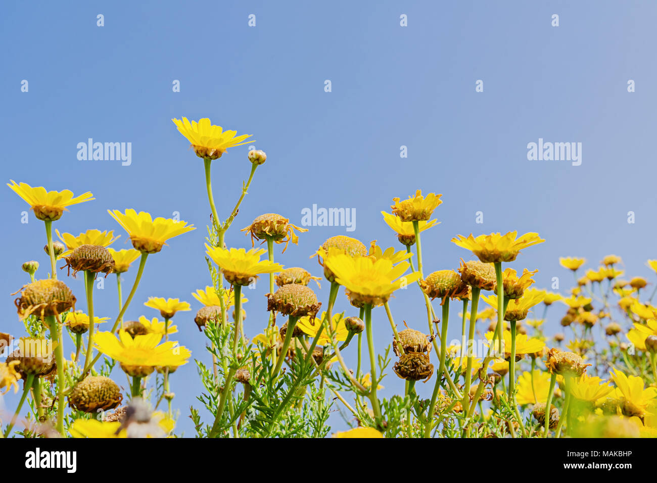 Many Blurred Of Yellow Flowers On Blue Sky Background With Copy