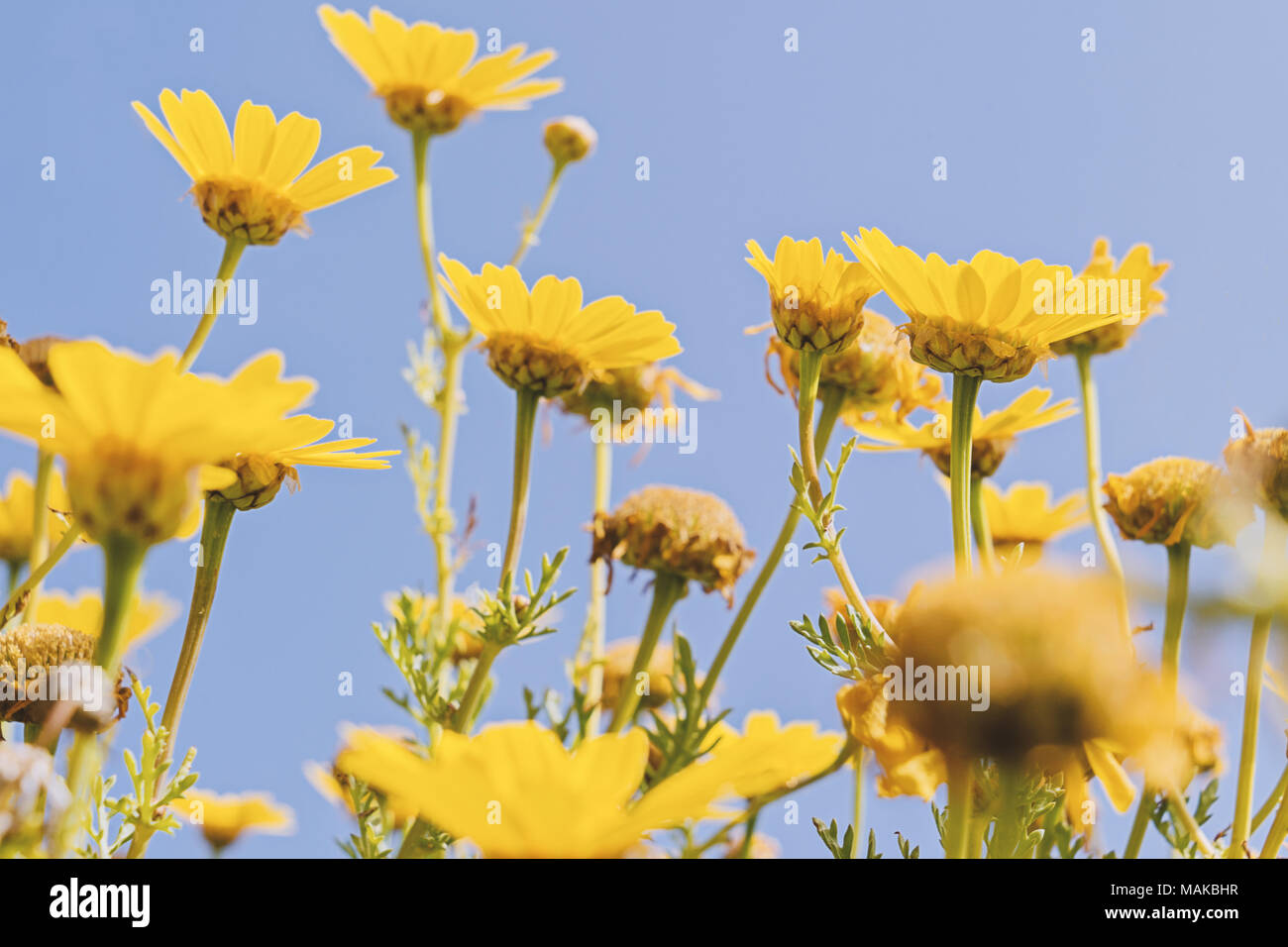 Close Up Low Angle View Of Motion Blurred Yellow Flowers On Blue Sky