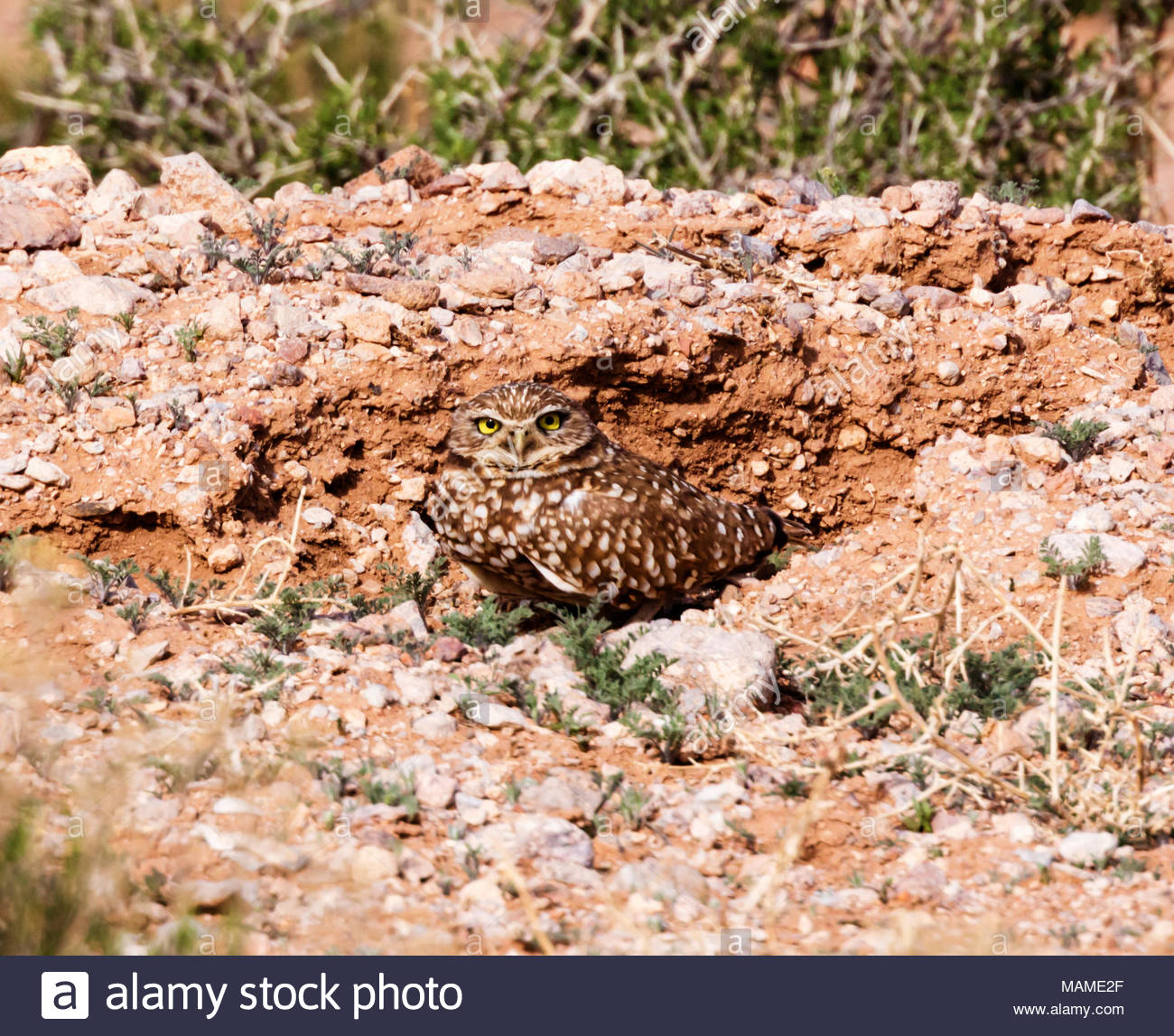 burrowing-owl-athene-cunicularia-standing-in-front-of-burrow-new-mexico-usa-MAME2F.jpg