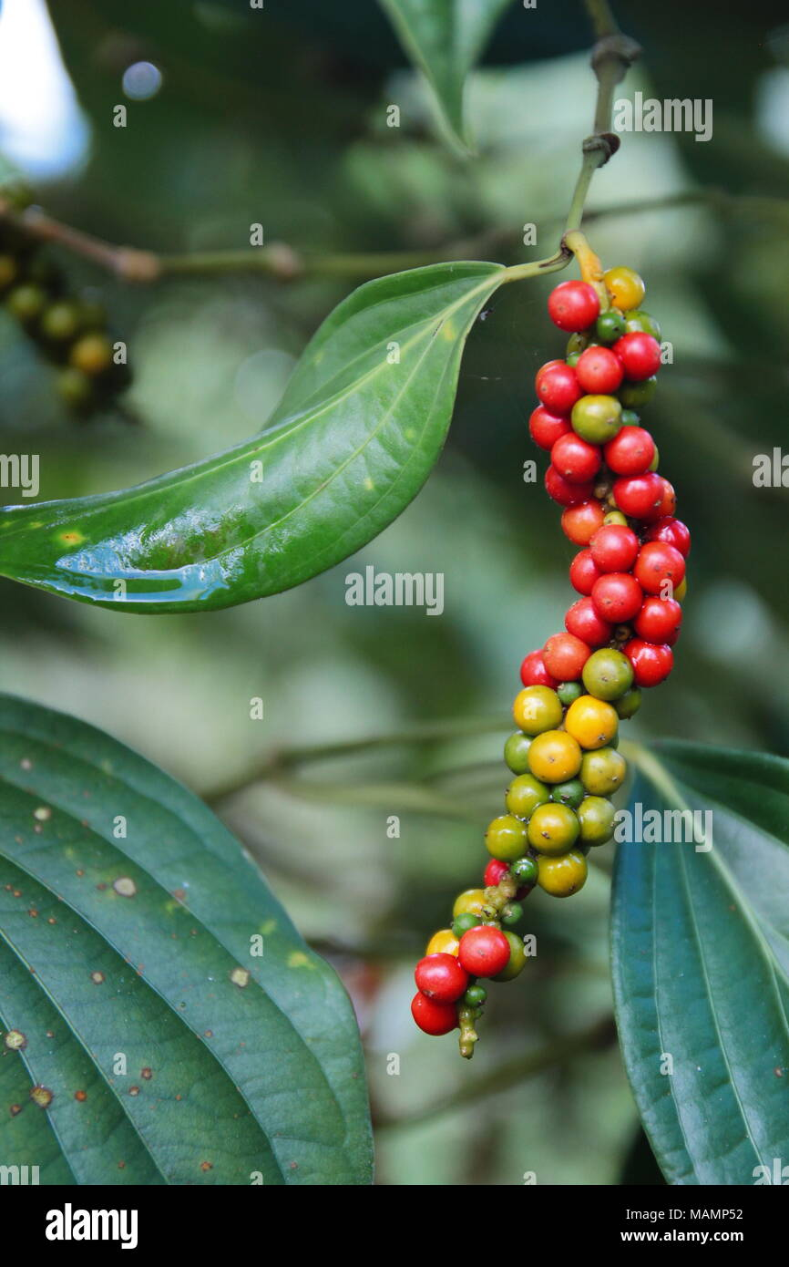 Close-up of fresh live red green color ripened peppercorns (Black ...