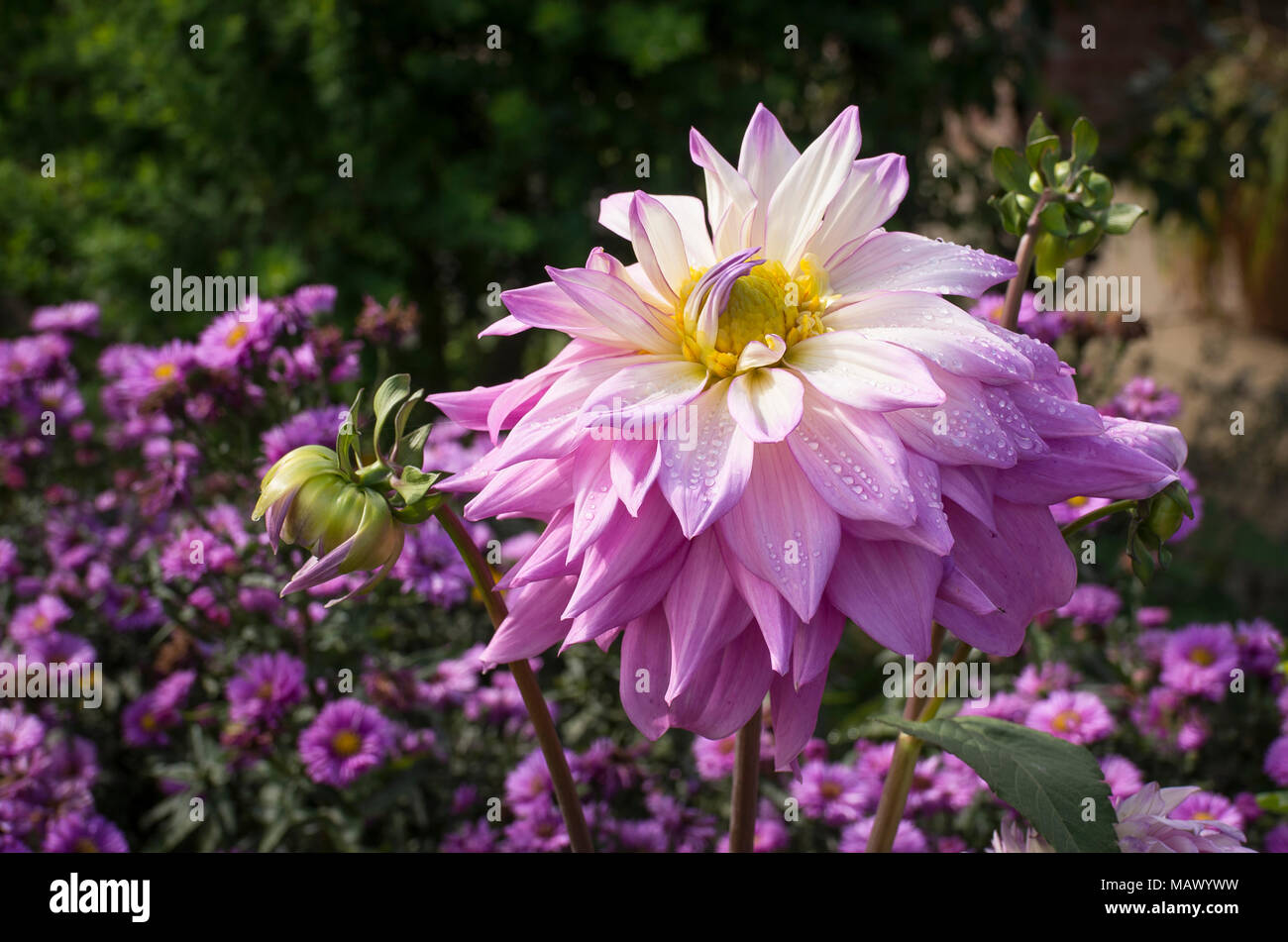 Giant Pink Dahlia Sir Alf Ramsey In An English Garden In Flower In