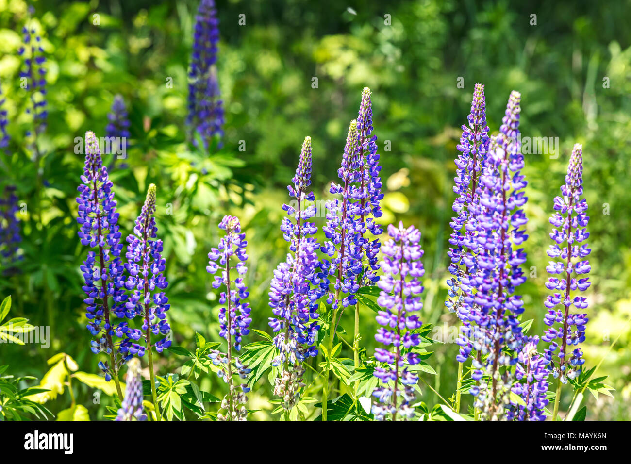Lupine Field With Purple And Blue Flowers Blooming Wild Flowers In