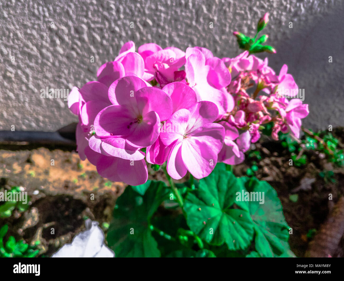 The most stunning beautiful and romantic natural fresh pink flowers the most stunning beautiful and romantic natural fresh pink flowers for love and gifts with green leaves in muddy pot in a flowers garden center for s izmirmasajfo