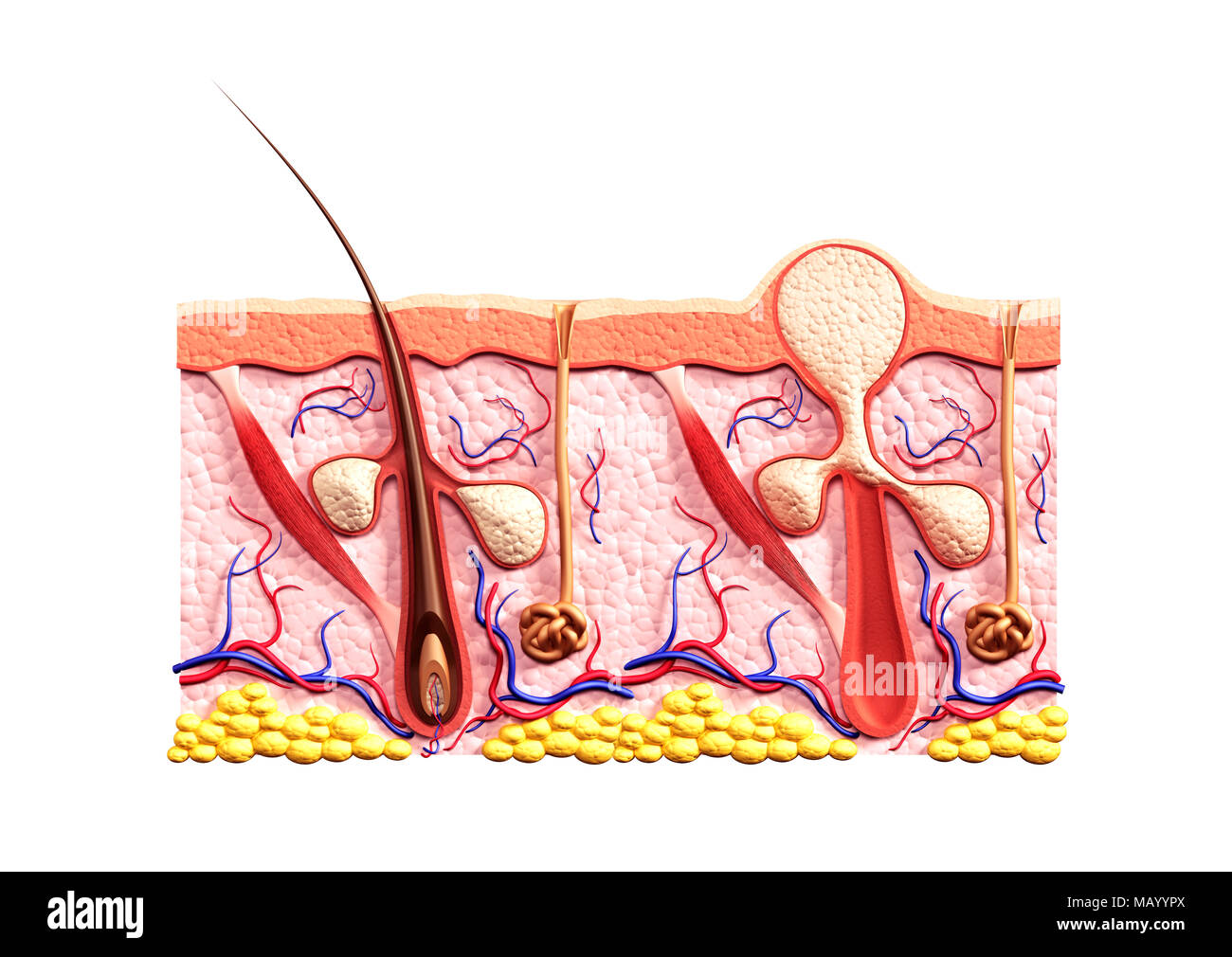 Cross section of skin showing structure of a healthy hair follicle ...