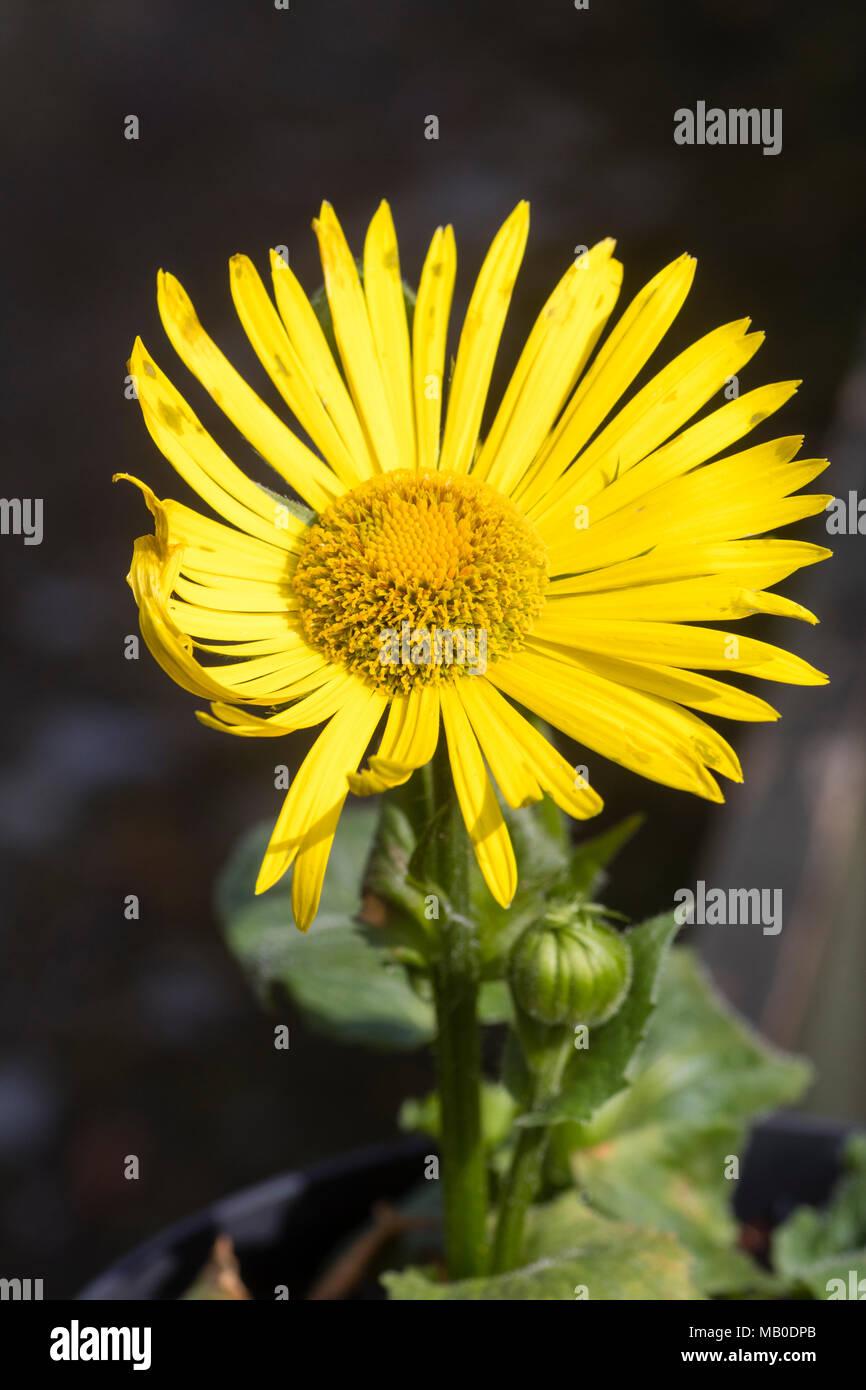 Bright yellow daisy flower of the shade tolerant spring flowering bright yellow daisy flower of the shade tolerant spring flowering perennial doronicum x excelsum harpur crewe mightylinksfo