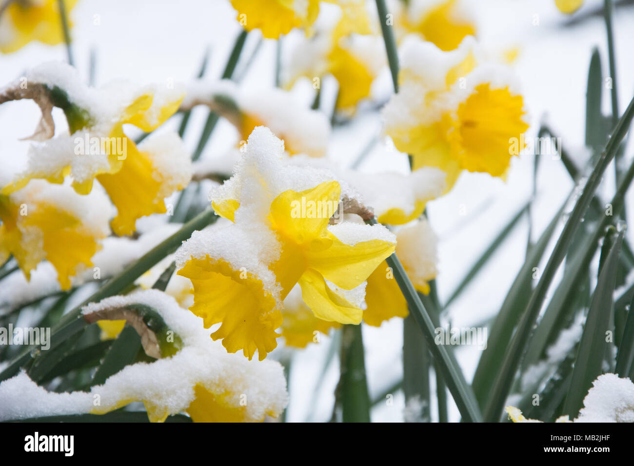 Beautiful yellow daffodils in full bloom in garden pots spring in beautiful yellow daffodils in full bloom in garden pots spring in an english garden some with a covering of late snow on the flowers mightylinksfo
