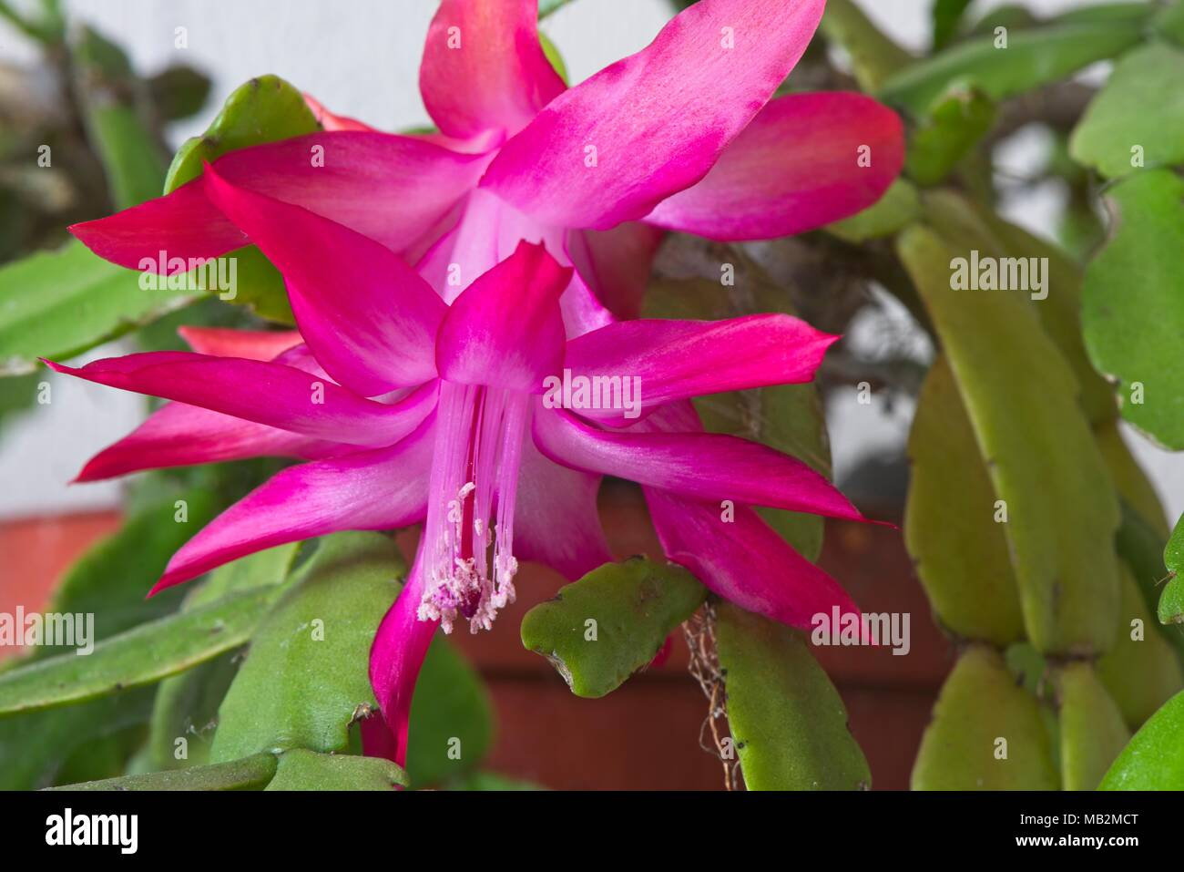 The Exotic Pink Flowers Of The Epiphytic Schlumbergera Cactus Or