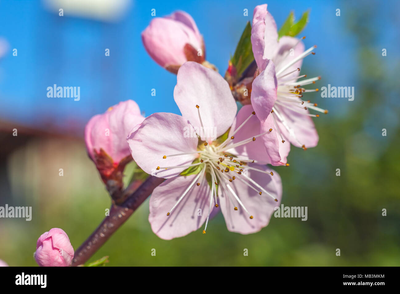 Sweet Peach Blossoms In Early Spring Bees Food Stock Photo