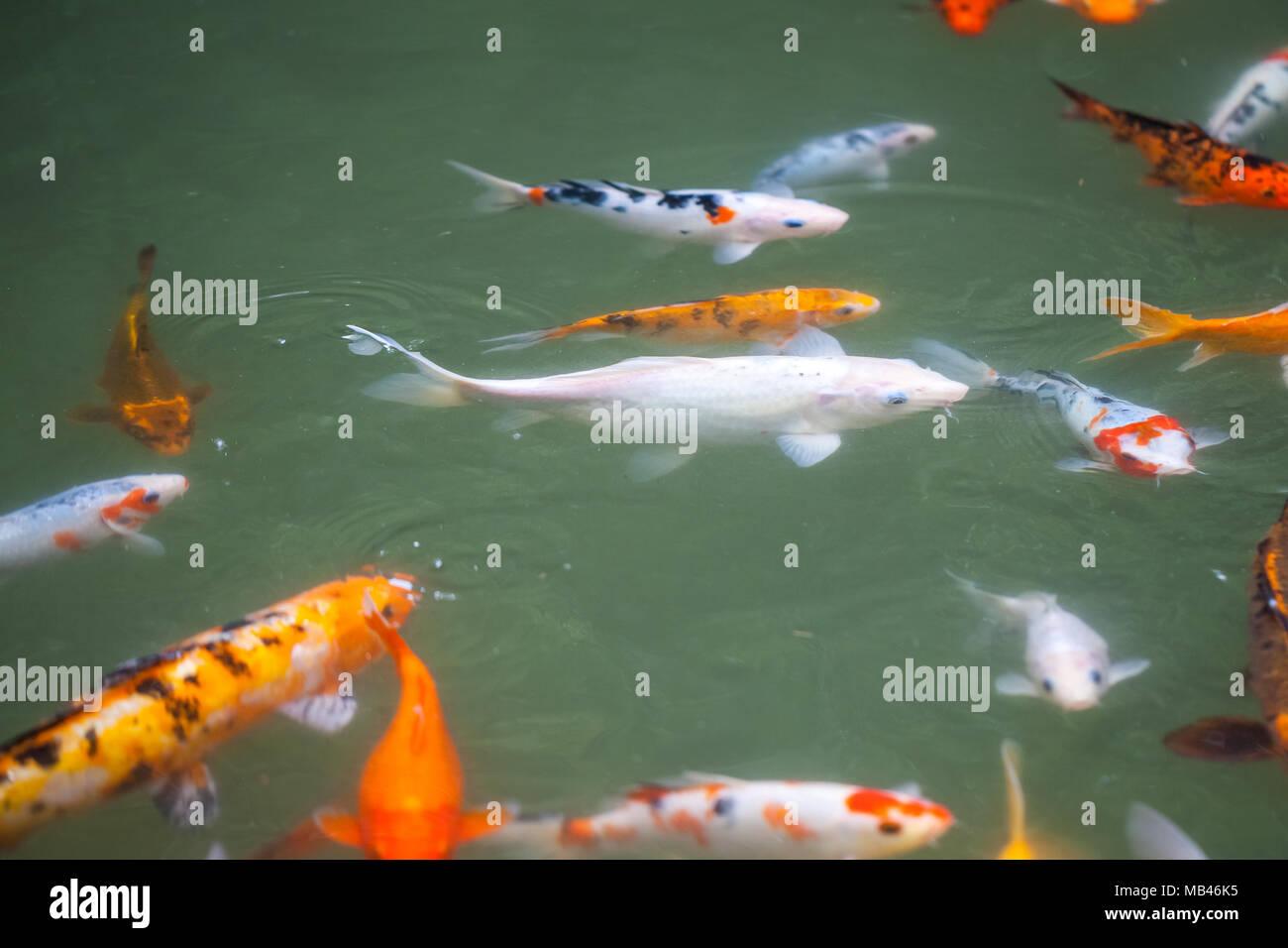 Japan fish call Carp or Koi fish colorful, Many fishes many color ...