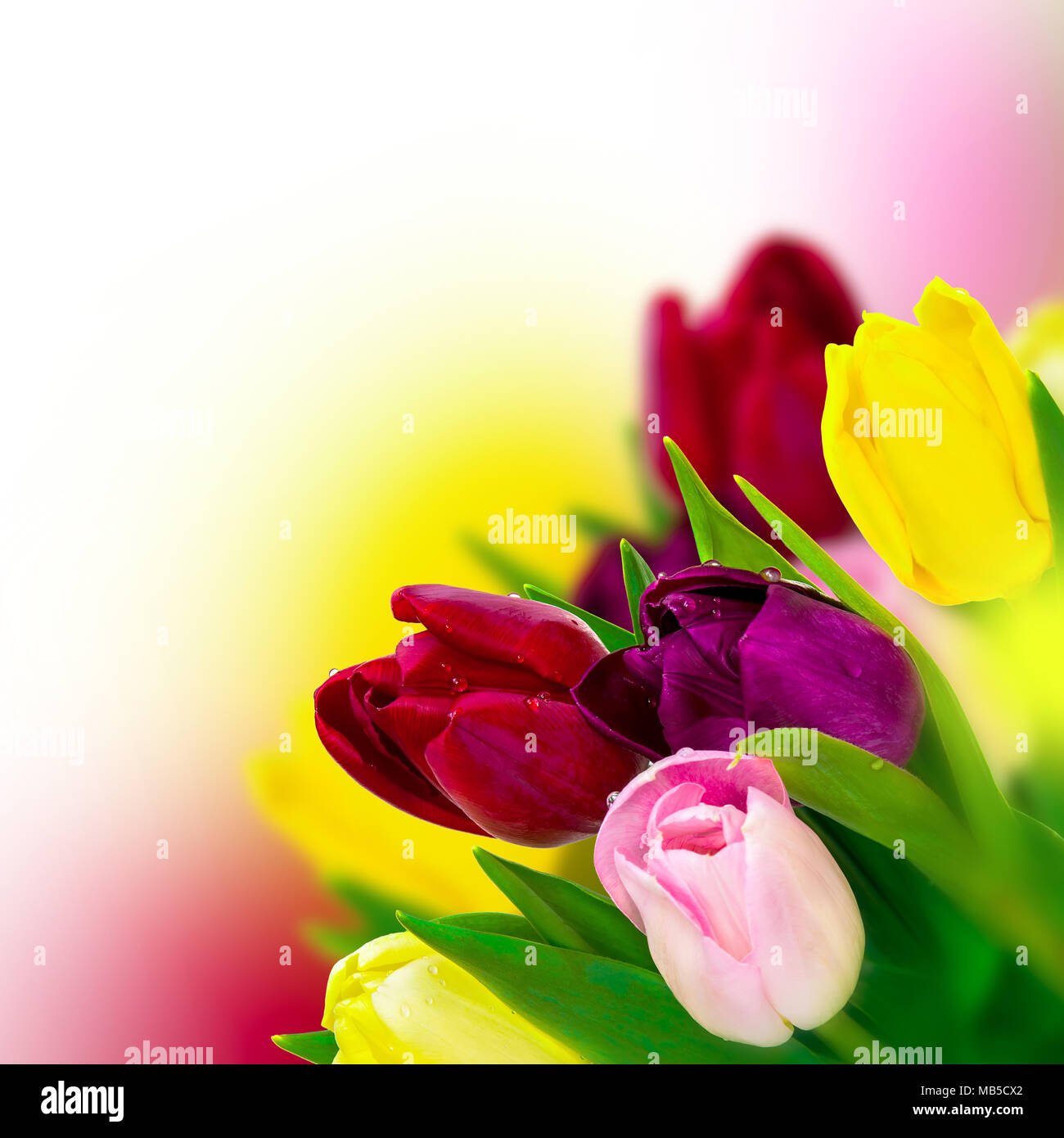 Beautiful tulip pink red purple yellow flower bouquet square beautiful tulip pink red purple yellow flower bouquet square background greeting card template spring narture soft toned mightylinksfo