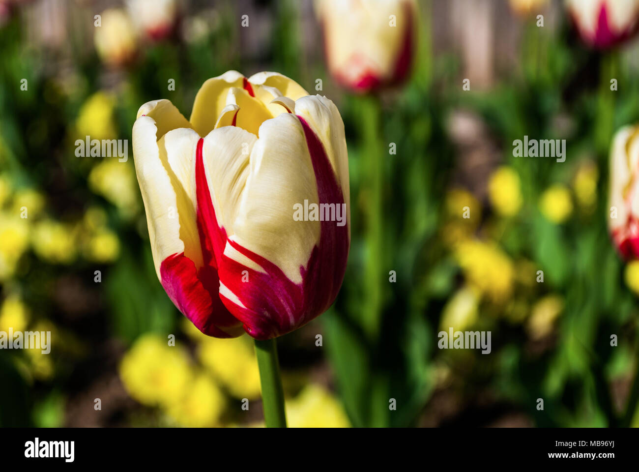 Beautiful tulip flower on a sunny spring day in the park the beautiful tulip flower on a sunny spring day in the park the background is blurred izmirmasajfo