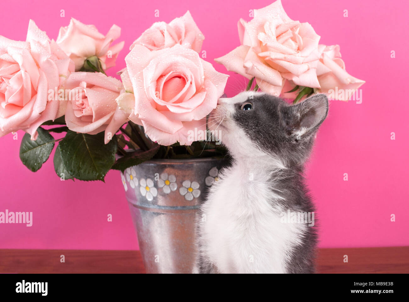 Cat smelling flower roses on a wooden table and pink background cat smelling flower roses on a wooden table and pink background mightylinksfo