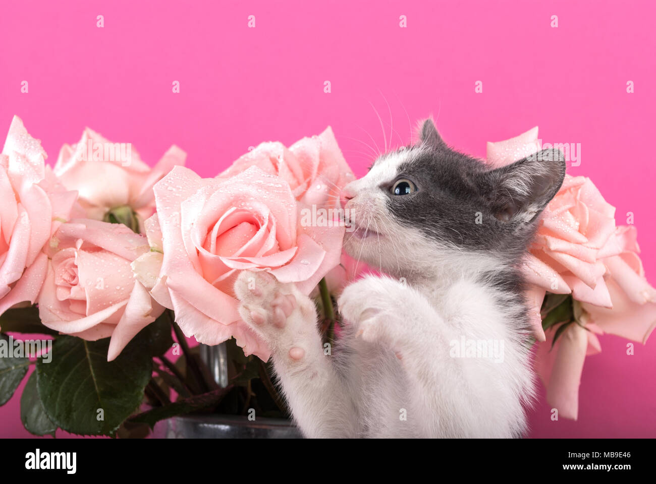 Small cat bites flower roses on a pink background stock photo small cat bites flower roses on a pink background mightylinksfo