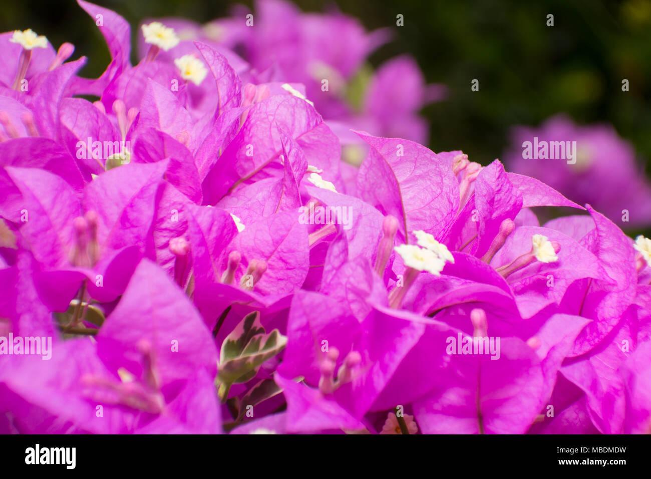 Purple Bougainvillea Or Paper Flower Select Focus Background Stock