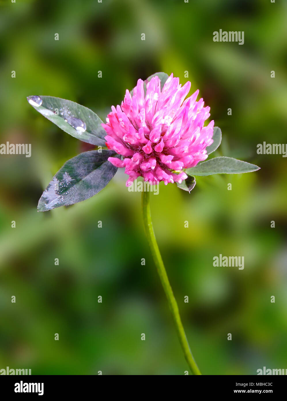 Pink Clover Flower With Dew Drops And Selective Focus Close Up Shot