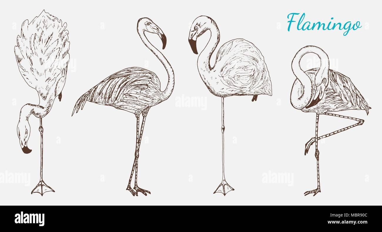 Hand Drawn Vector Birds Sketch Graphic Vintage Style Phoenicopteridae Tropical Animal
