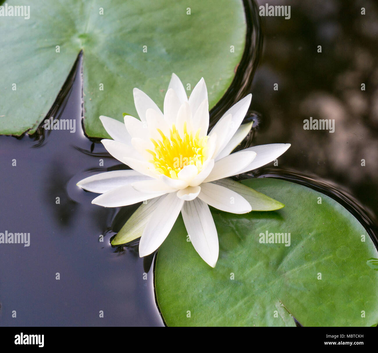 An up close view of a white lotus flower blooming and lily pad an up close view of a white lotus flower blooming and lily pad floating in a botanical water garden izmirmasajfo