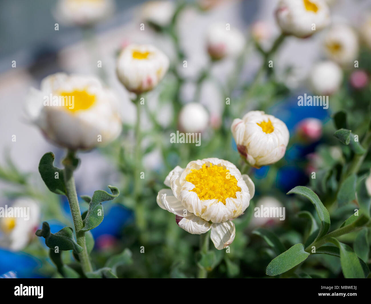 Tiny White And Yellow Flowers With Blur Background In The Garden