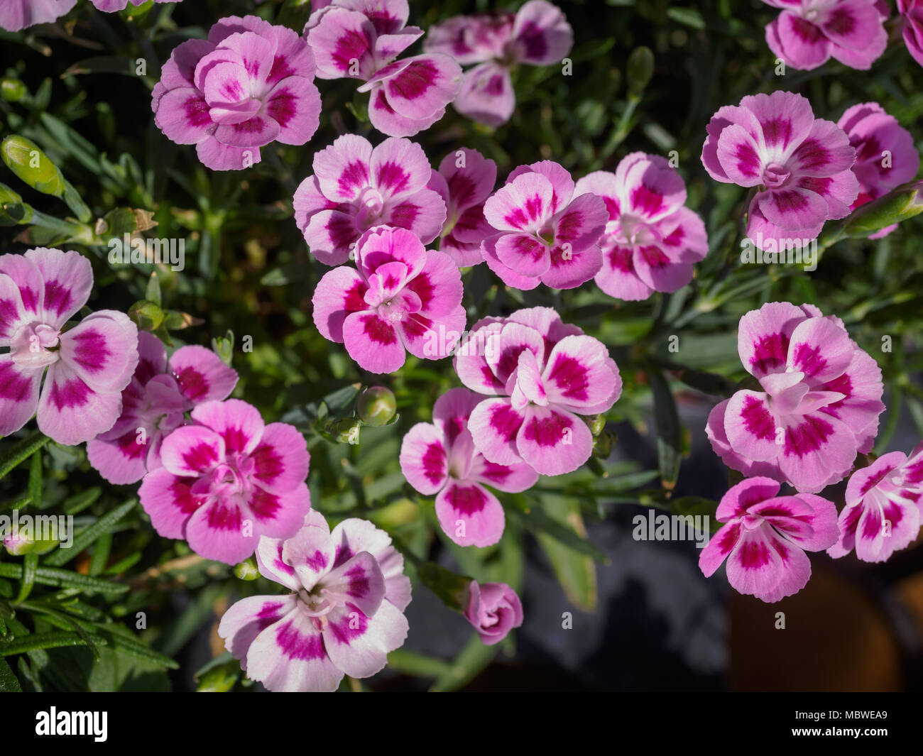 Pink Pansy Flowers With Blur Background In The Garden Stock Photo