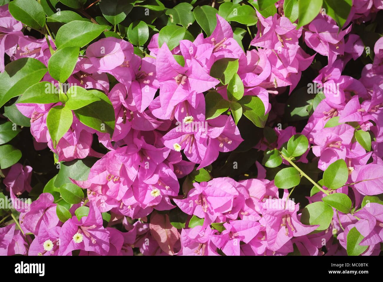 Background of beautiful fresh pink bougainvillea flowers or paper background of beautiful fresh pink bougainvillea flowers or paper flowers blooming on the green tree mightylinksfo