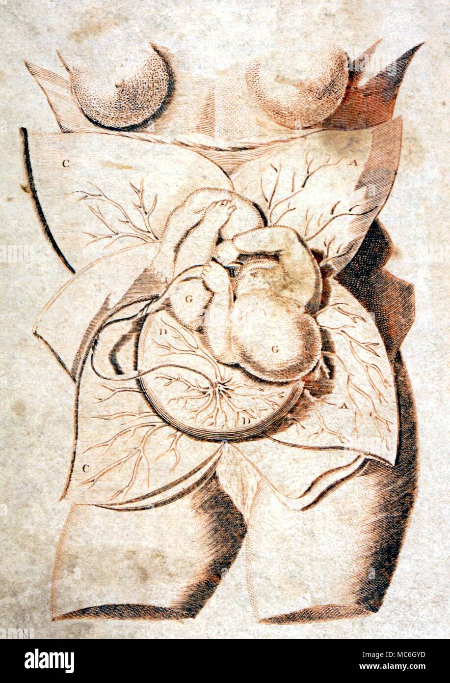 Female Womb With Embryo Plate From Culpepers English Physician And