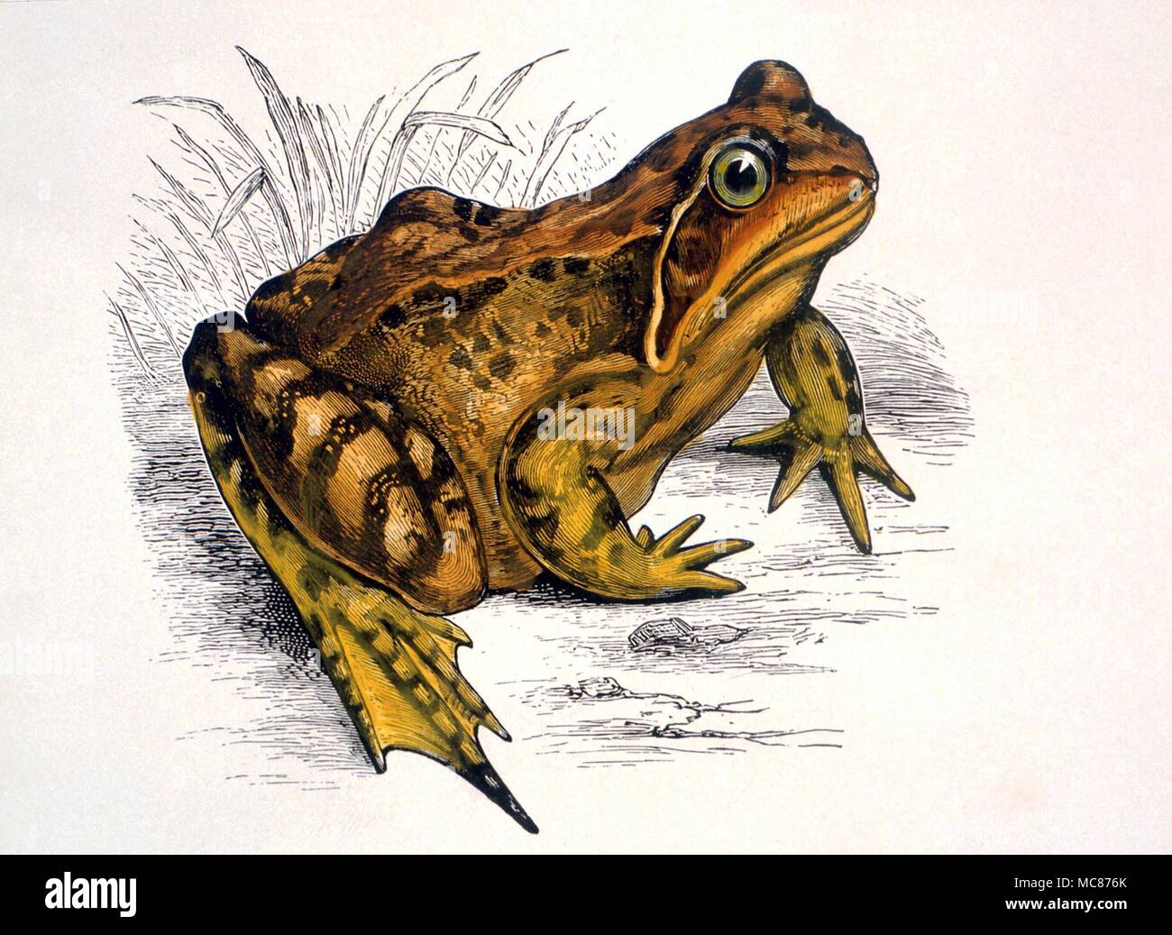 Dition stock photos dition stock images page 2 alamy strange phenomena the frog used in f t bucklands early study of how frogs and toads might biocorpaavc Images