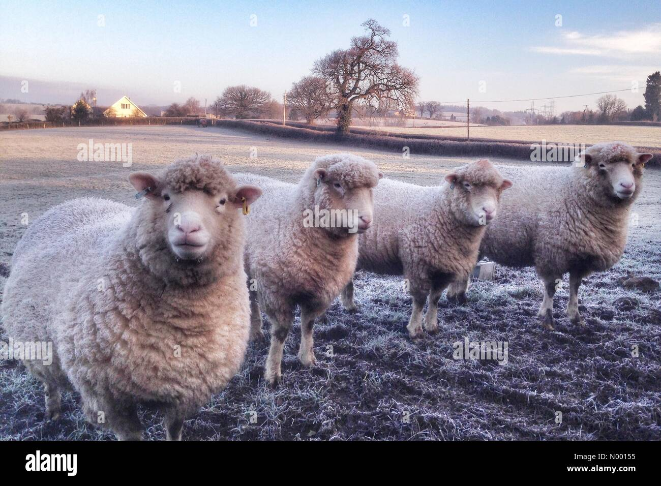 uk-weather-frosty-sheep-in-doddiscombsle