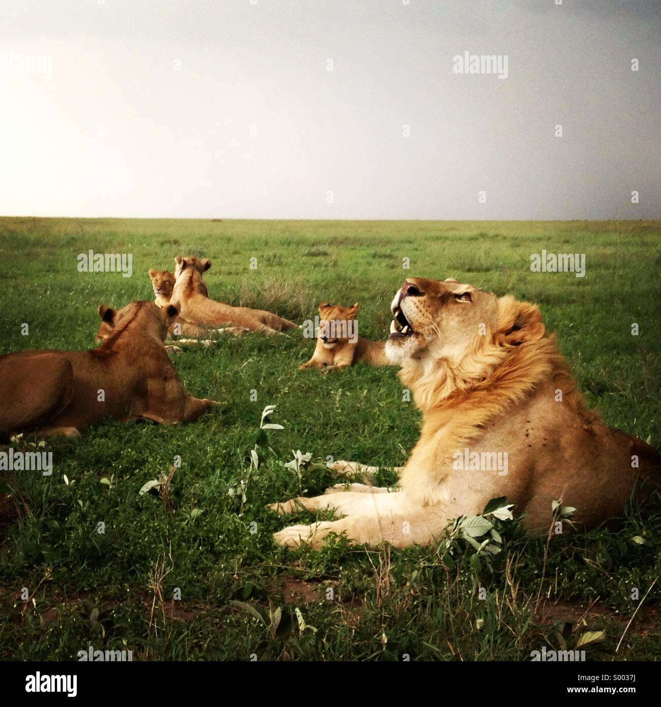 family-of-lions-lying-down-in-the-grass-