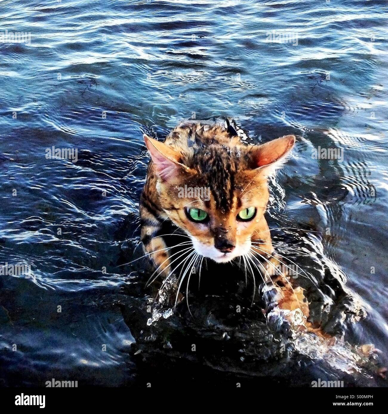 Bengal cats and swimming