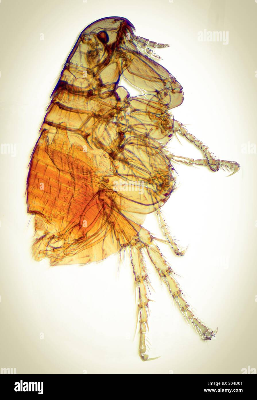 flea-S04D01.jpg