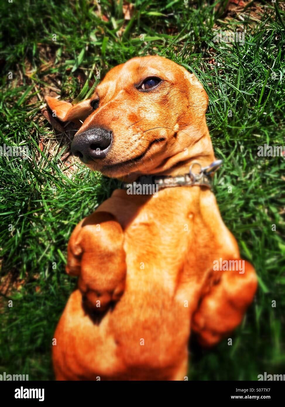 A_miniature_dachshund_lies_on_its_back_i