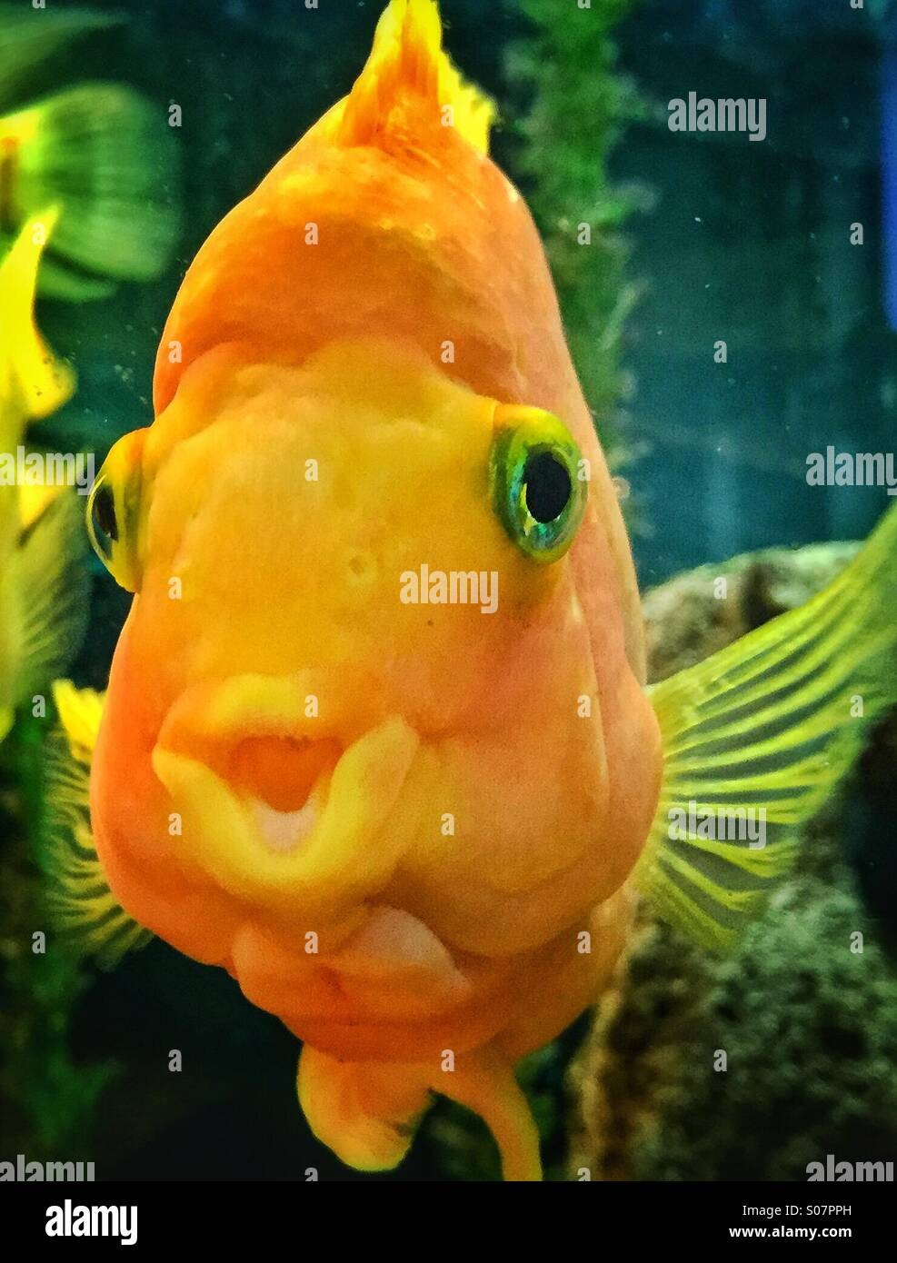 gold tropical fish in aquarium with open mouth and looking