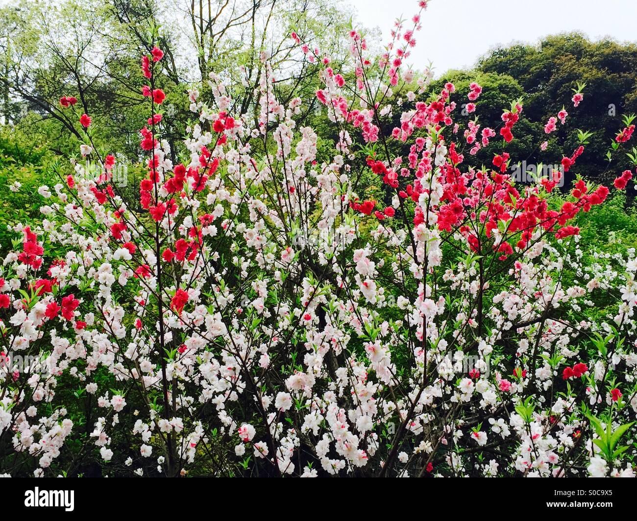100+ Cherry Blossoms Color   Cherry Blossom Design Paint Drops Keep ...