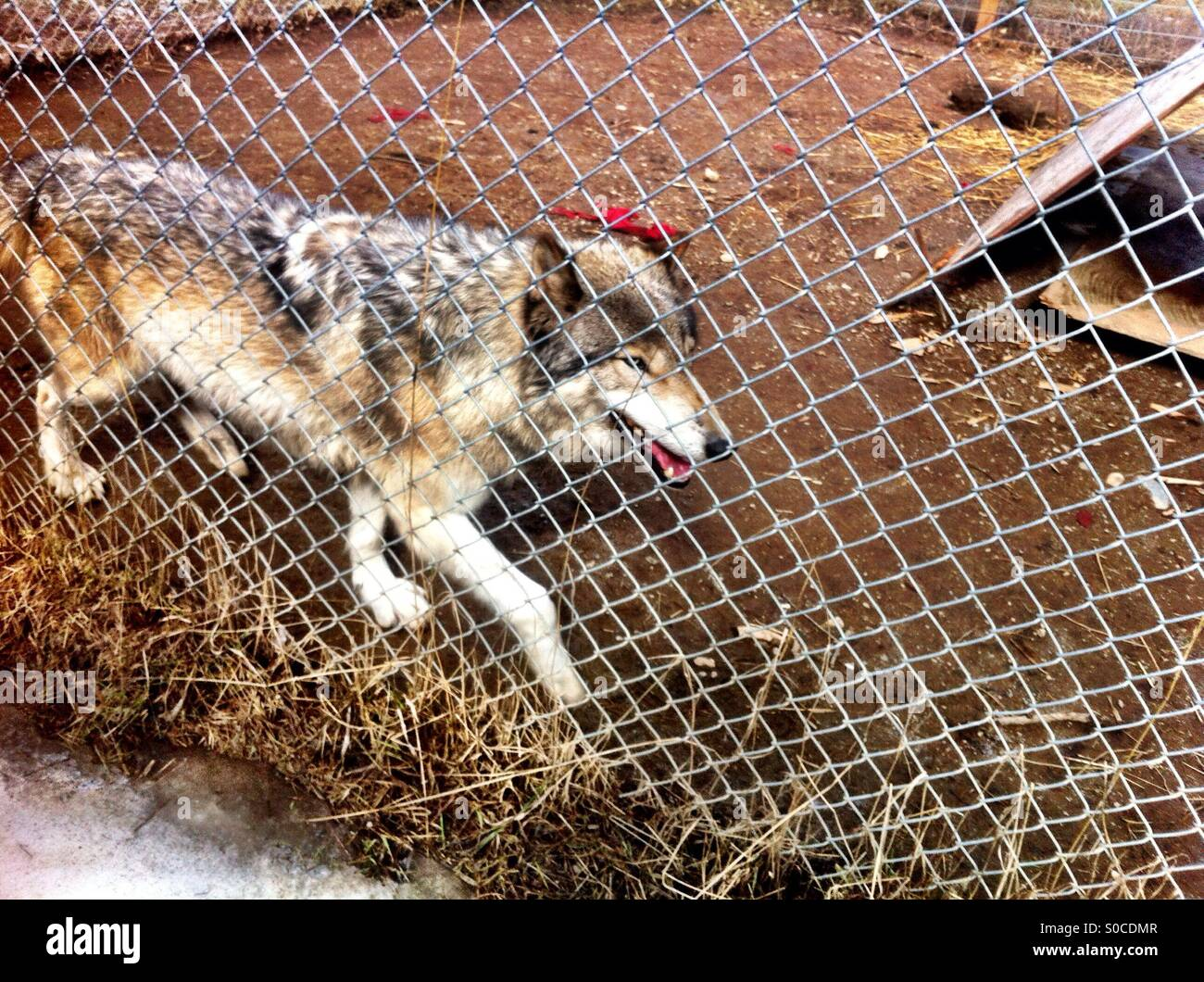 Image result for wolf in cage