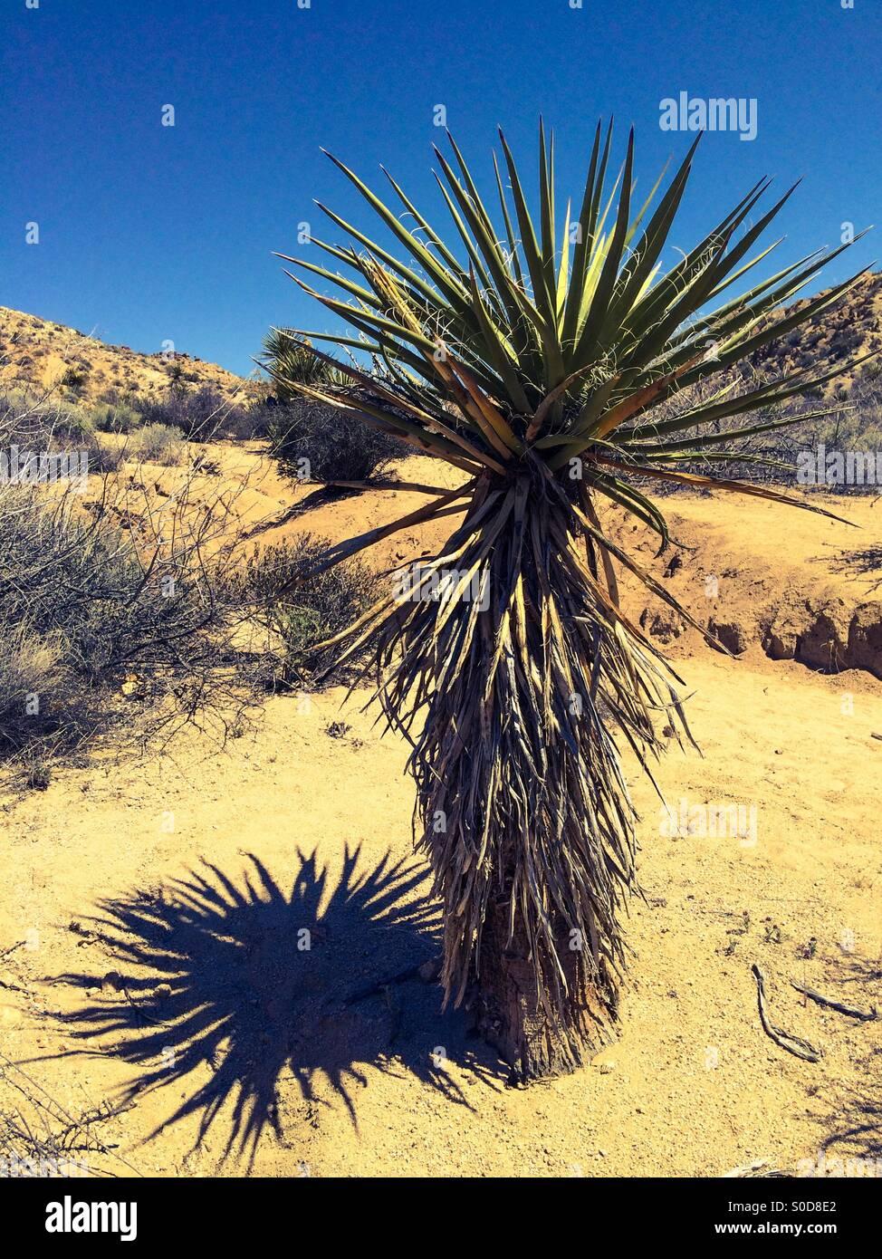 The mojave yucca essay