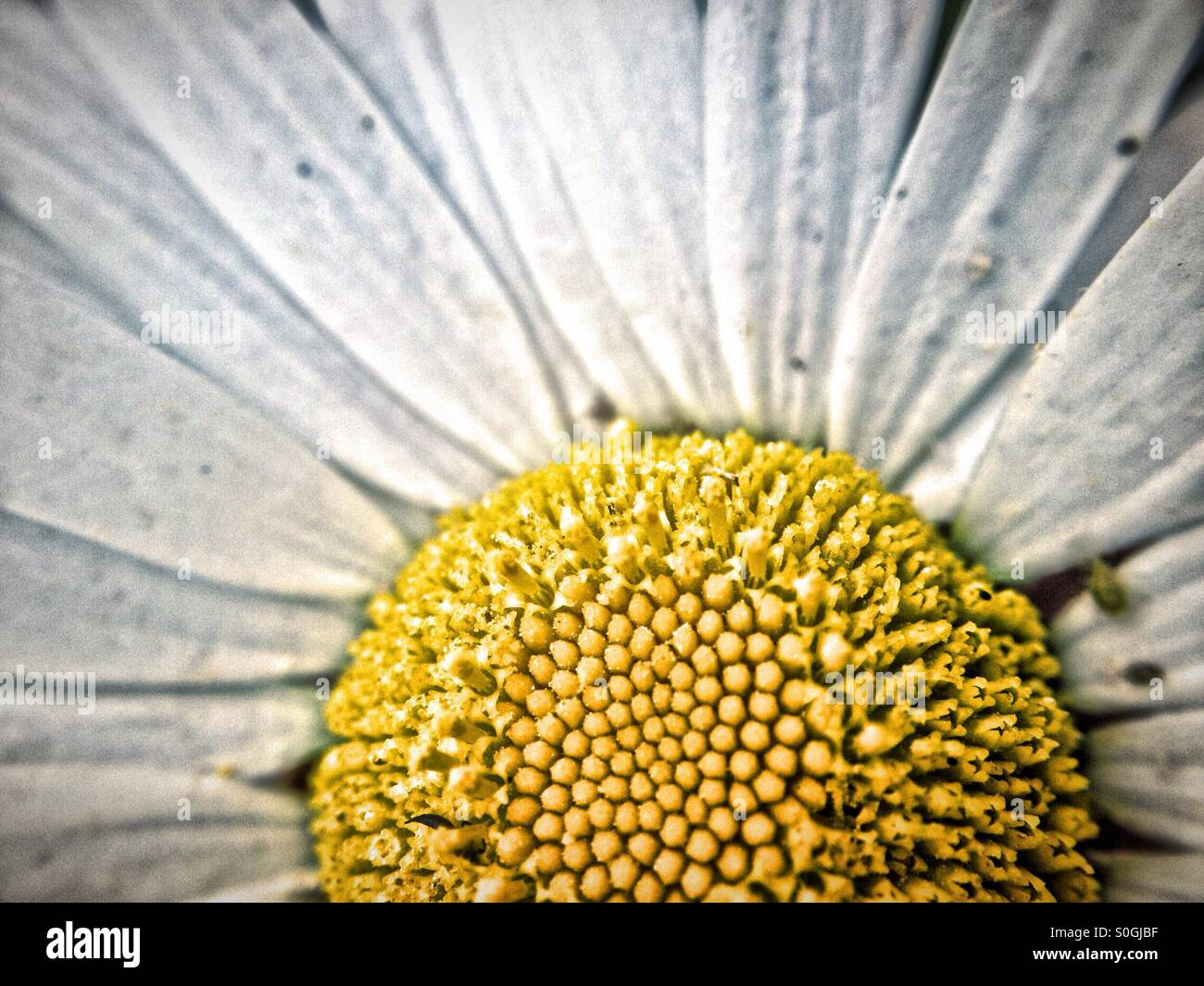 Large daisy like flower stock photo royalty free image 310152291 large daisy like flower izmirmasajfo Image collections
